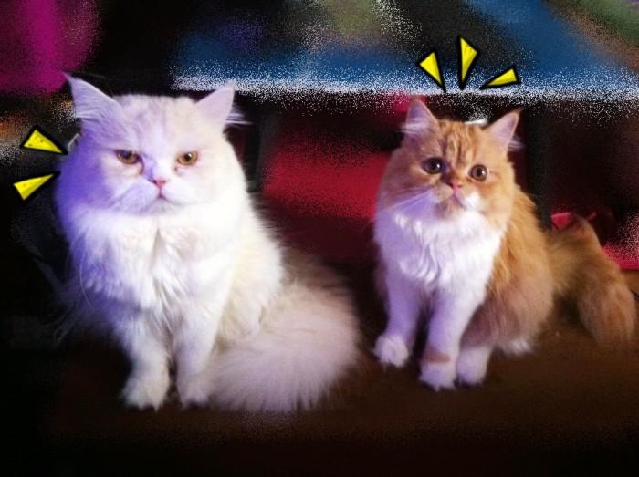 การดูแลแม่แมวท้อง
